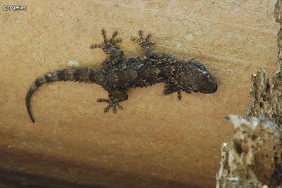 Dragó comú (Tarentola mauritanica)