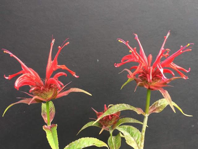 blühende Goldmelisse (rote Blüte)