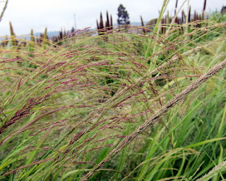Photo of ripening teff grains at UC Berkeley's Gill Tract