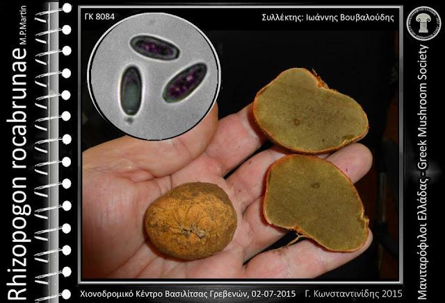 Rhizopogon rocabrunae M.P.Martin