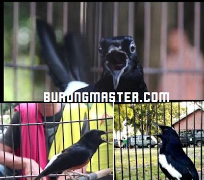 5 Burung Kicauan Dengan Harga Selangit