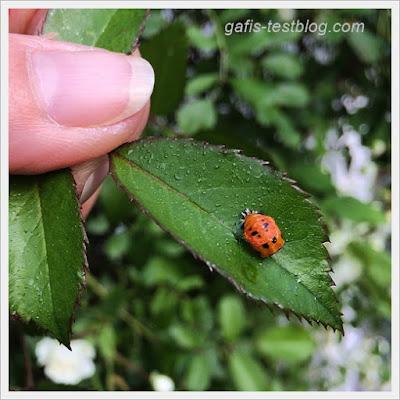 Käfer auf Rosenblatt