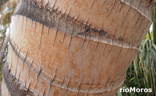 Piel de Cocotero Cocos nucifera