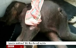 An elephant calf  rescued from drain  dies