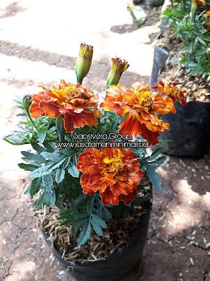 Jual tanaman bunga marrygold