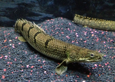 Ikan Hias Palmas Dan Cara Merawatnya yang benar