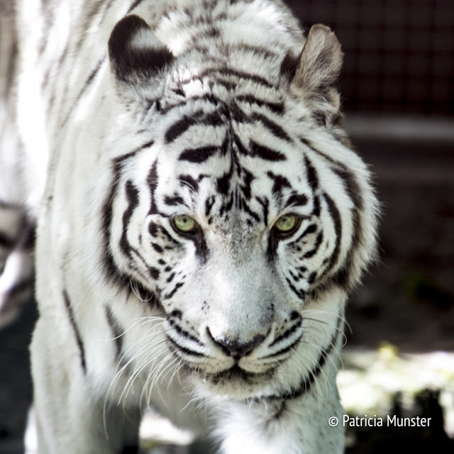 White tiger in Dierenpark Amersfoort - The Netherlands - Close up