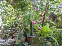 injerto-cactus-manati