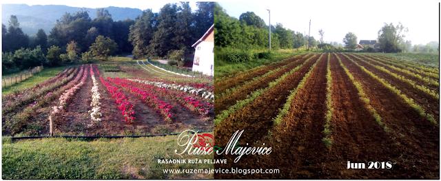Rasadnik ruza Bih, Peljave, Ruze Majevice, stablasice, floribunde, cajevke, puzavice ruze