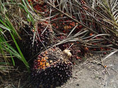 El aceite de palma es un aceite de origen vegetal que se obtiene del mesocarpio de la fruta de la palma Elaeis guineensis.