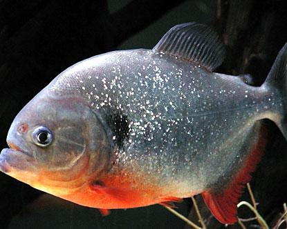 Piranha | Animal Wildlife