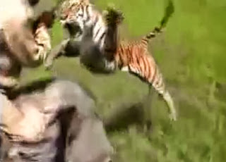 tiger attack,big tiger,super tiger,