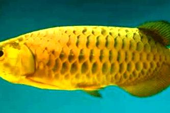 8 Cara mudah Memelihara Ikan Arwana Bagi Pemula