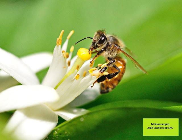 Τα μελίσσια της Σχολής Μελισσοκομίας στο Δ. ΙΕΚ Επιδαύρου τρυγούν στους εσπεριδοειδείς οπωρώνες  του αργολικού κάμπου