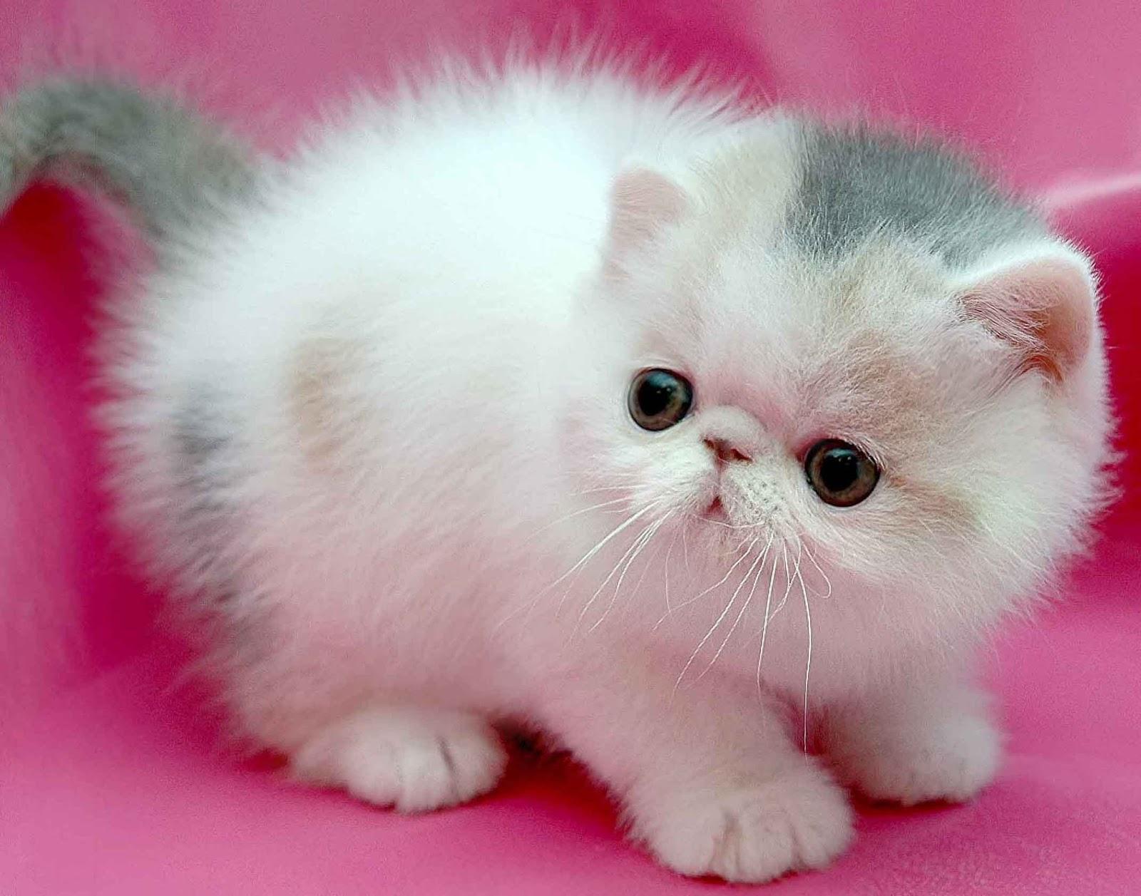 Harga Kucing Persia Dan Seluk Beluk Tentang Kucing Persia Lengkap