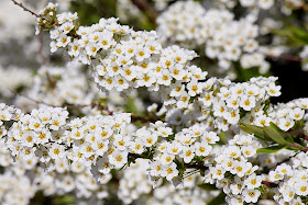 Welcome To The Green Heart Dens Blog Page Our Spiraea