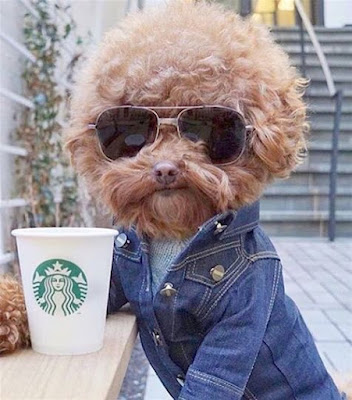 Funny dog drinking Starbucks wearing sunglasses and a denim jacket