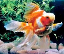 Jenis Ikan Hias Air Tawar Yang Mudah Dipelihara koki