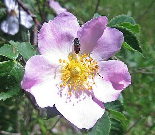 hình ảnh về hoa hồng tầm xuân