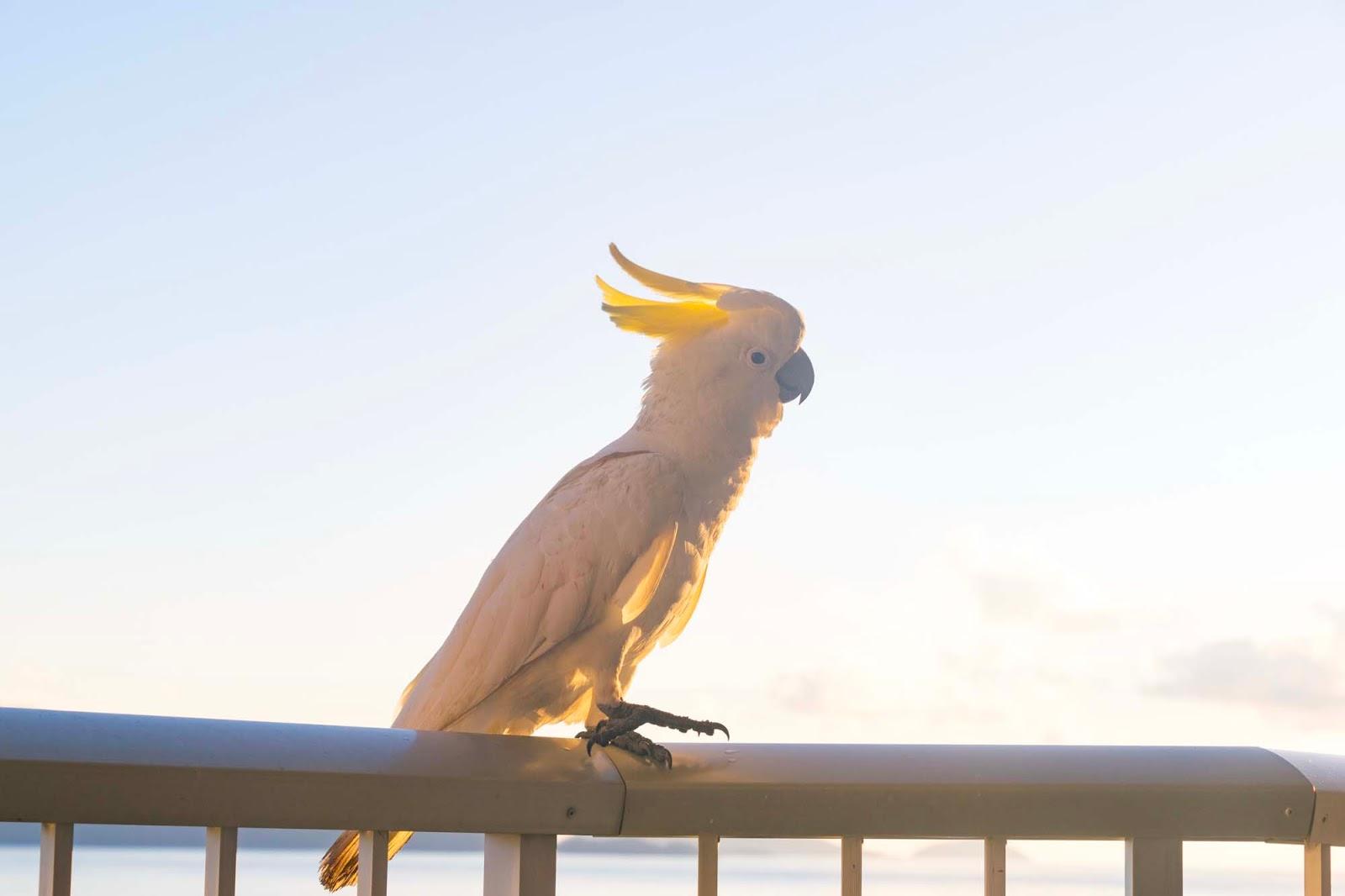 cocky on hamilton island