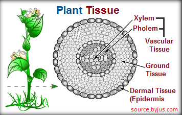 [Plant Tissue]SSC Special Topic Plant Tissue - Success Mantraa