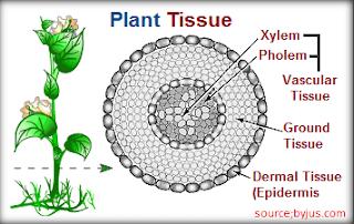 Plant TissueSSC Special Topic Plant Tissue - Success Mantraa