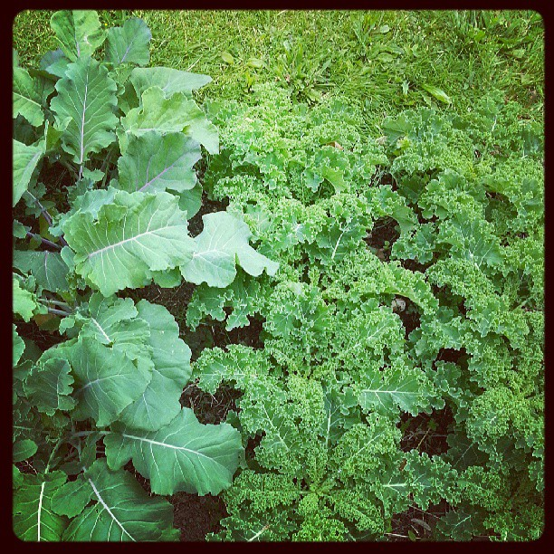 home grown garden broccoli kale