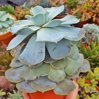 Stretched out succulent