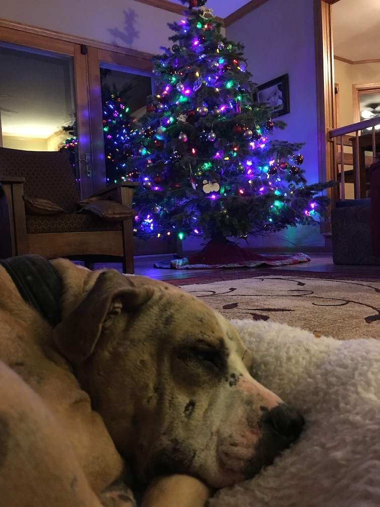 Court Case Dog Edwin, a rescued fighting dog, spends his first Christmas in a forever home