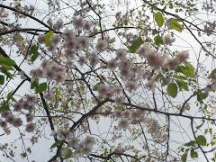 荏柄天神社の枝垂れ桜