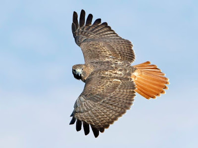 Red-tailed Hawk in flight call