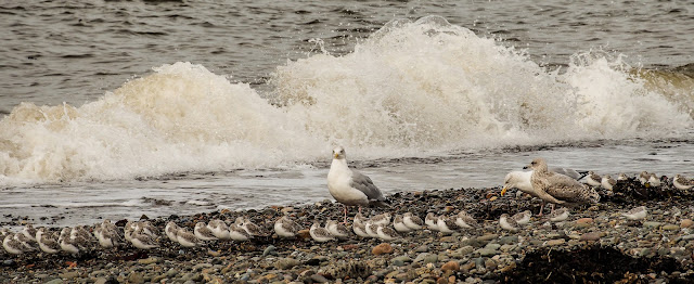 Photo of sandpipers on the shore at Maryport