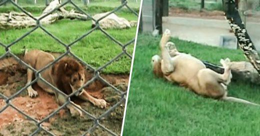 Luego de 13 años enjaulado, un león es liberado y es feliz