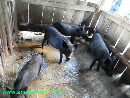 53+ Gambar Babi Hitam HD
