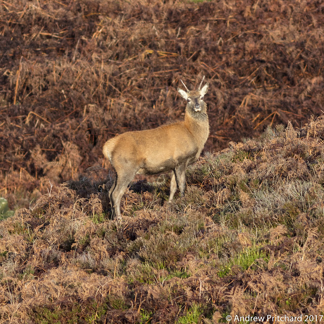 The same brocket is moving up towards the higher moorland, and is now standing amongst a mixture of heather and dead bracken.