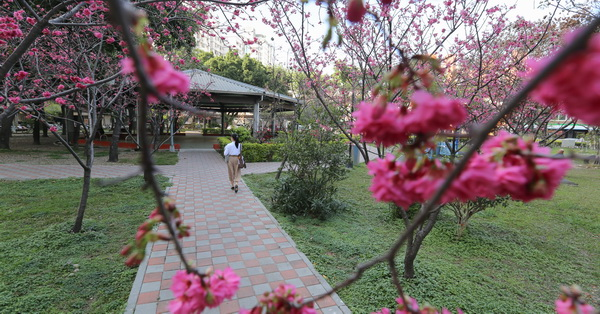 台中南區|福順公園|社區櫻花公園|數十棵八重櫻|枝垂櫻|形成小型櫻花林