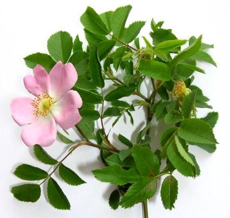 десятов розы подвой шиповник