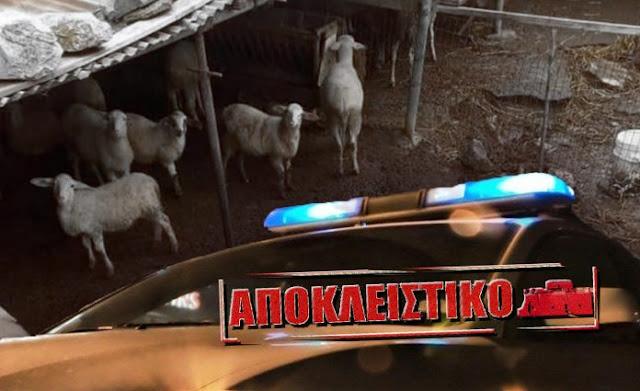 ΠΑΦΟΣ: Συλληφθείς κτηνοτρόφος γαλεύει τα ζώα του στην παρουσία των Αστυνομικών