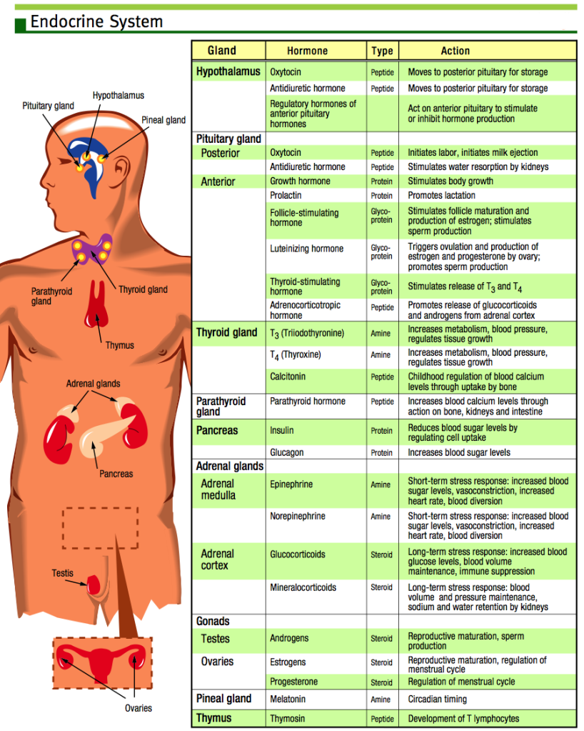 Endocrine system chart also on meducation rh