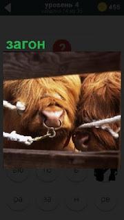 В загоне сквозь доски видны пара быков с кольцами в носах и привязаны веревкой