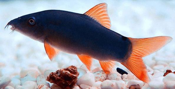 Ikan Botia 7 Jenis Ikan Botia Hias Dan Harga Ikan Botia Hewan Air Info Hewan Air Info