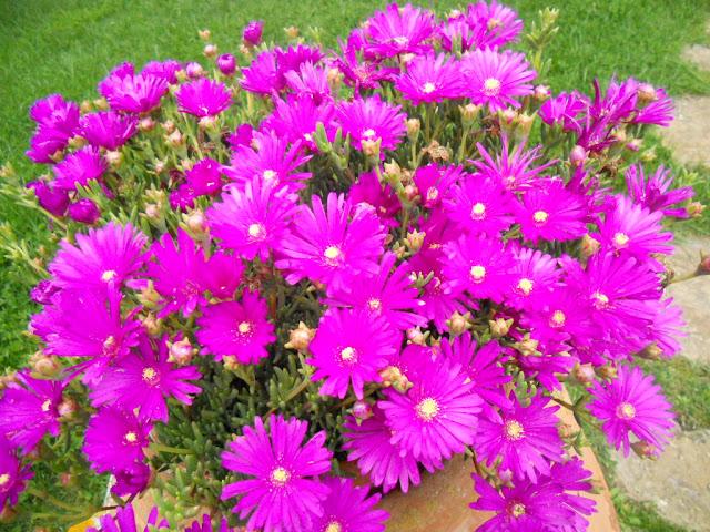 Mesembryanthemum fiori amici del sole