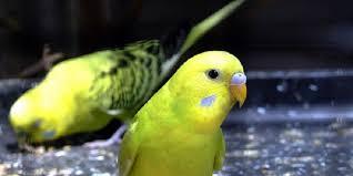 Peluang Usaha Budidaya Burung Parkit Anti Gagal