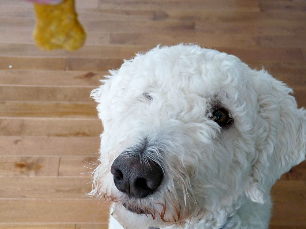 Two Year Old Komondor Dog, Szuka