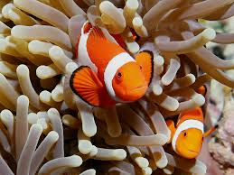clown fish hides within the anemone's tentacles