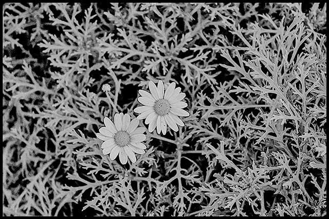 Dos flores de margarita entre la maleza