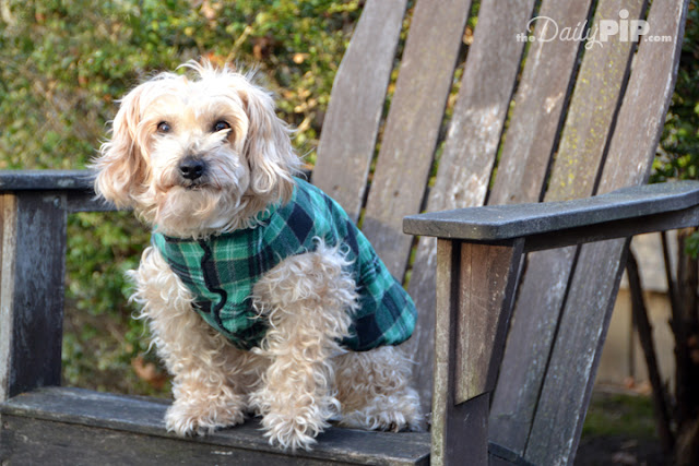 Ruby, the rescue dog shows off her plaid jumper sweater