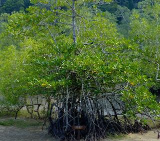 Tanaman bakau yaitu pohon air payau sering kita jumpai berada disekitar kita Manfaat dan Khasiat Bakau (Rhizophora Apiculata BI.)