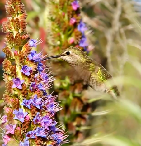 Anna's Hummingbird on sonoma county wire