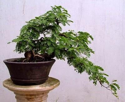 bentuk-bonsai-asem-jawa